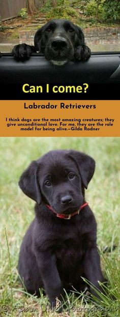 Look at the webpage to read more about Labradors Click the link to get more information