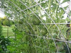 Half hoop for vining plants, made out of a cattle panel.  Bird net keeps the melons from falling through.