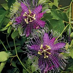 Passion Flower 'La Lucchese' (Passiflora hybrid)