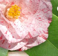 propagating camellia , have to try this