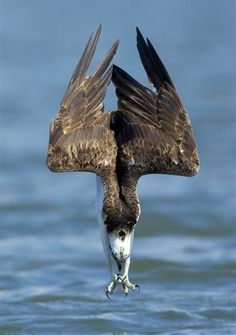 AMAZING SHOT! An Osprey Diving For Food