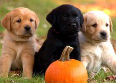 Too Cute - Puppy Cuteness, Three little Labs.  Look out Vegas, you could have 'lil buddies moving in.....