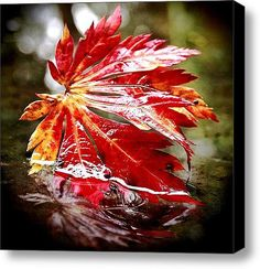 Red Autumn Leaf Stretched Canvas Print / Canvas Art By Vorona Photography