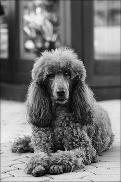 Beryll -- Poodle Doggies, Pet Dogs, Dogs And Puppies, Pets, French Poodles, Standard Poodles, Pretty Animals, Cute Animals, I Love You Puppy