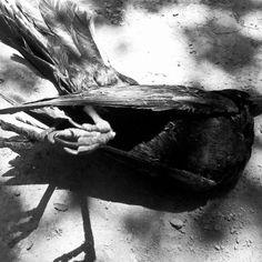 """""""I dead birds & Vulture, Black White, Birds, Black And White, Black N White, Bird"""