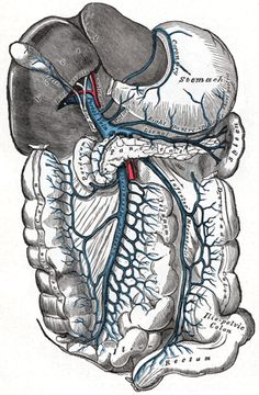 The Hepatic Portal Vein