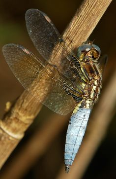 Blue-Tailed Yellow Skimmer (dragonfly)