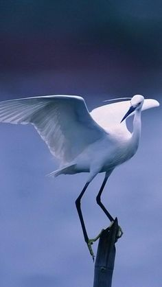 a perching Snowy Egret