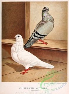 German Beauty Pigeon Print On Color Canvas Textured Photo Paper