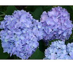 Hydrangea macrophylla Endless Summer® - White Flower Farm  one of my favorites