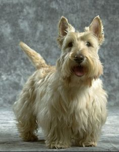 Beautiful Wheaten Scottish Terrier