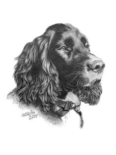 Cocker Spaniel pencil portrait - Garry's Pencil Drawings