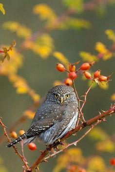 Northern Pygmy Owl (Glaucidium gnoma) - photo: Milo Burcham Easter America and Canada Beautiful Owl, Animals Beautiful, Cute Animals, Beautiful Things, Pretty Birds, Love Birds, Regard Animal, Owl Bird, Mundo Animal