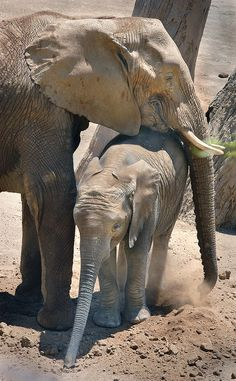 Baby elephant walk  - A baby elephant and its mom get a little dirty at the Wild Animal Park