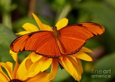 Julia Tropical Butterfly On Lazy Susan Flower by Inspired Nature ...