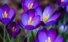 Purple Spring Flowers Desktop