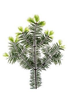 balsam fir tips | STILL (mary jo hoffman)