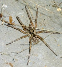 Dolomedes Fishing Spider