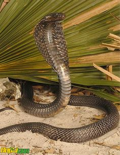 I never saw a hooded cobra in Africa and I think they are the Indian cobras. VB