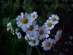 Daisies...my FAVORITE flower!