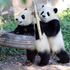 """""""Push me, bro."""" So cute pandas Funny Panda Pictures, Animal Pictures, Cute Little Animals, Cute Funny Animals, Animal Original, Baby Panda Bears, Baby Pandas, Tier Fotos, Cute Panda"""