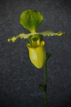 A Thai Slipper Orchid, one of the rarest orchids in the collection, is displayed at Kew