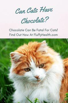 Today I was having a conversation about chocolate with my friend, and then he asked me a good question, can cats have chocolate? Well, chocolate is one of the most exquisite guilty pleasures known to humankind, so addicting that it can even attract your feline friend. #cats #catlife #cathealth #catfood #chocolateforcats #chocolate #fluffyhealth #thecattribe Dog Health Tips, Cat Health, Different Breeds Of Cats, Healthy Cat Food, Funny Animals, Cute Animals, Cat Hacks, Cat Care Tips, Outdoor Cats
