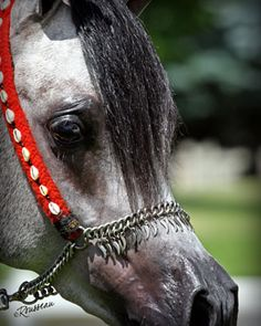 LA Karat Arabian stallion