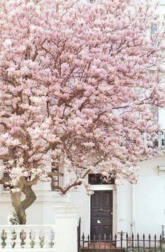 London Fine Art Photography Magnolia, Notting Hill Notting Hill, London in spring is a glorious sight! This magnificent magnolia greeted me on a London Fine Art Photography London Fotografie, Pink Blossom Tree, Cherry Blossoms, Pink Trees, Spring Blossom, Beautiful Flowers, Beautiful Places, Unusual Flowers, London Photography