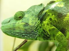 Meller's Chameleon | Few Interesting Facts
