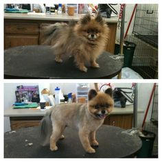 Before and after....Pomeranian Teddy Bear Clip.  So Cute!!