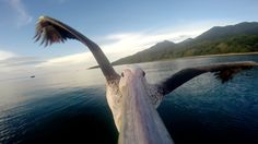 Dieser Pelikan zeigt uns mit Hilfe einer GoPro was es heißt das erste mal zu Fliegen!