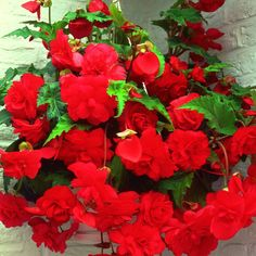 Buy begonia tuber Begonia Red Glory - This trailing begonia has scented flowers: 1 tuber: Delivery by Crocus Cut Flowers, White Flowers, Zantedeschia Aethiopica, Tuberous Begonia, Gladiolus, Pink Summer, Season Colors, Hanging Baskets, Flower Pots