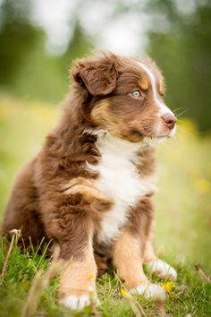 Everything About The Work-Oriented Australian Shepherd Puppies And Kids Australian Shepherds, Aussie Shepherd, Australian Shepherd Puppies, Aussie Puppies, Cute Puppies, Cute Dogs, Dogs And Puppies, Doggies, Australian Shepherd Blue Eyes