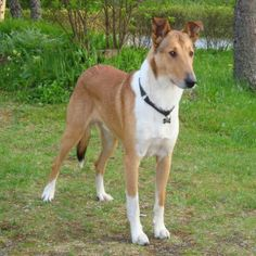 Short-hair Smooth Collie dog breed