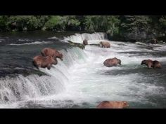 ▶ Brown Bears fishing at Brooks River Falls, Katmai National Park, Alaska reminded me of a flash mob! (Warning, this gets a little icky toward the end if you are on the side of the salmon, but it IS the bear's proper food source. Katmai National Park, Down The River, Alaska Travel, Holy Ghost, Zoology, Science Nature, Baby Animals, North America