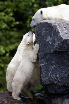 Polar bear cubs these are my favorite animals Nature Animals, Animals And Pets, Baby Animals, Cute Animals, Baby Pandas, Wild Animals, Bear Cubs, Polar Bears, Grizzly Bears