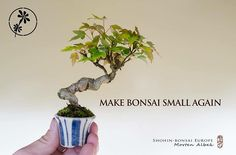 Make bonsai small again :-D #bonsai #shohin #couldntresist  #盆景 #盆栽 #분재 #bonsai #shohin #shohinbonsai #japanese #art #tree #nature #life #feel #albek #mortenalbek  #tokonoma #toko #床 #床の間 #shohineurope