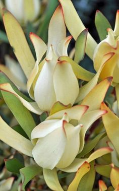 Maui Sunset - Leucadendron - Proteas and Leucadendrons - Flowers by category | Sierra Flower Finder