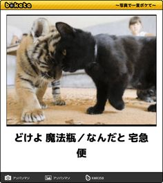 There are many different type of cats and most cats have something unique about them. Some of the cats are unique with different body structure. Cute Funny Animals, Funny Animal Pictures, Funny Cute, Funny Images, Funny Dogs, Cute Cats, Japanese Funny, Japanese Cat, Different Types Of Cats