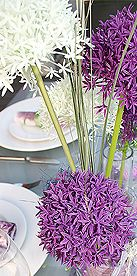 Allium in lila und creme