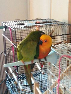 Best friends! Blue crown conure and a Jenday conure.