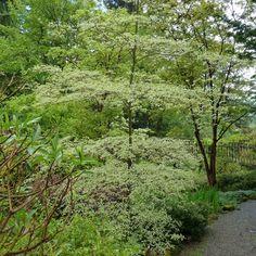 Cornus alternifolia Argentea - Cornouiller à feuilles alternes panaché