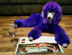 Mia, the purple standard poodle ❤