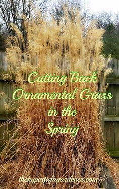 Ornamental Grass Springtime means it is time to cut the grasses down. Using a hedge trimmer and a bungee cord, it is so easy!