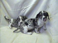 Image detail for -Miniature Dapple & Double-dapple Dachshunds