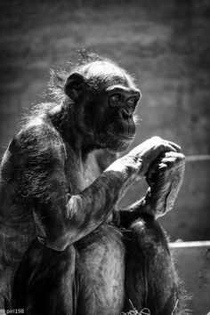 .: bonobo :. (by piri198)  Tagged: primate ape bonobo  Posted on July 6, 2013 with 3 notes  Source: Flickr / piri198