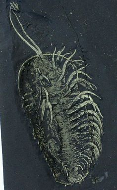 "Pyritized Fossil Trilobite - Triarthrus eatoni - fossil body : 1.37 x 0.66 x 0.59"" (3.5 x 1.7 x 1.5 cm) - antennae : 0.59"" (1.5 cm) - matrix : 1.96 x 3.149"" (5 x 8 cm) - Late Ordovician : 485.4 ± 1.9 - 443.8 ± 1.5 million years ago - Lorraine Shale - Lewis County, New York"