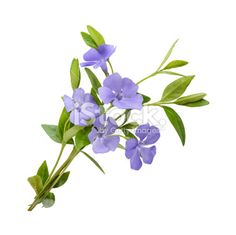 Periwinkle, Vinca minor