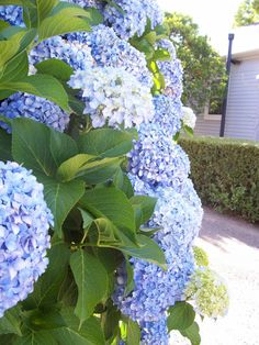 hydrangeas, for our bay window planter